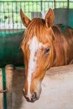 Arpenter d'écuries de cheval Photographie stock