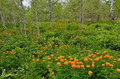 Сarpet of bright spring flowers in a forest glade Stock Photography