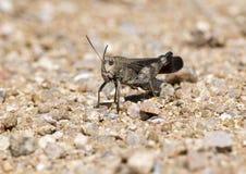 Arphia simplex, the plains yellow-winged grasshopper Royalty Free Stock Photos