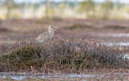 Arquata Numenius σιγλίγουρων πουλιών που περπατά στο έλος Στοκ Εικόνα