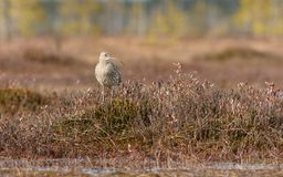 Arquata Numenius σιγλίγουρων πουλιών που περπατά στο έλος Στοκ Εικόνες