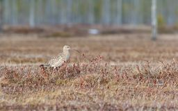 Arquata Numenius σιγλίγουρων πουλιών που περπατά στο έλος Στοκ φωτογραφία με δικαίωμα ελεύθερης χρήσης