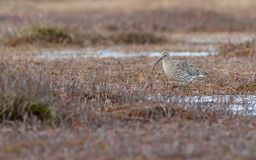 Arquata Numenius σιγλίγουρων πουλιών που περπατά στο έλος Στοκ Φωτογραφίες