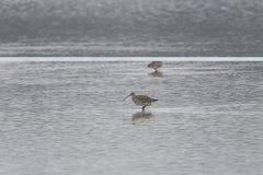 Arquata Numenius δύο δυτικό σιγλίγουρων κατά τη διάρκεια να προμηθεύσει με ζωοτροφές σε μια λίμνη Στοκ Φωτογραφία