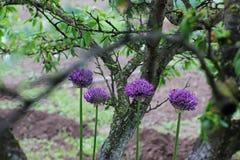 arqueamiento Allium Arco violeta Jardín fotografía de archivo libre de regalías