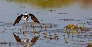 Arquear el zanco Negro-con alas Foto de archivo libre de regalías