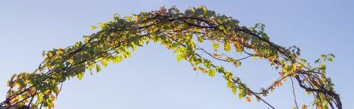 Arquez, tortillé les tiges des raisins avec des feuilles d'automne images libres de droits