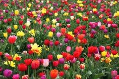Arquivado de flores do tulip Imagem de Stock