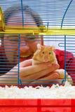 Arquivo da atribuição: O hamster vai em casa Fotografia de Stock