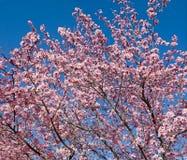 Arquivo grande da flor da ameixa fotografia de stock
