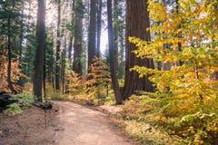 Arrástrese a través de un bosque pintado en colores de la caída, parque de estado grande de los árboles de Calaveras, California Foto de archivo