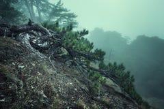 Arrástrese a través de un bosque viejo oscuro misterioso en niebla Otoño Foto de archivo libre de regalías
