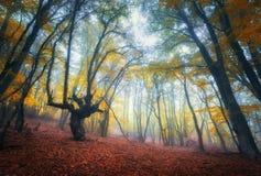 Arrástrese a través de un bosque viejo oscuro misterioso en niebla Otoño Imágenes de archivo libres de regalías