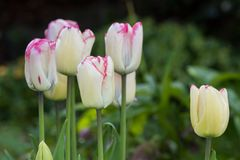 Arragement das tulipas brancas fotografia de stock
