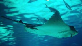 Arraia-lixa no aquário azul profundo do mar tiro 4k filme