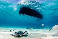 Arraias-lixa e peixes em uma lagoa Imagens de Stock