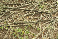 Arraigue los palillos a la tierra para la fotosíntesis, marrón de la raíz en la tierra con humedad Imagenes de archivo