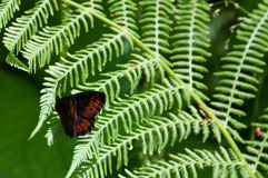 Arran brown butterfly (Erebia ligea) on a fern leaf Royalty Free Stock Photo