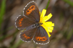 Arran brown, erebia ligea Royalty Free Stock Image