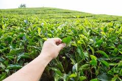Arrancando a folha de chá na plantação de chá de Cameron Highland Fotos de Stock
