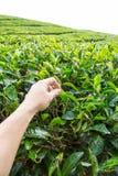 Arrancando a folha de chá na plantação de chá de Cameron Highland Foto de Stock