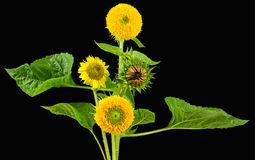 Arranged assorted sunflower varieties Stock Images
