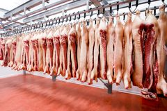 Arranged in a line of a raw pork meat hanging and and processing deposit in a refrigerator, in a meat factory. royalty free stock photo