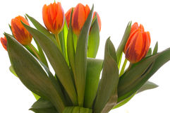 Arranged orange tulips Royalty Free Stock Images