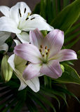 Asiatic Lilies in Pastel Pink and Off-White Royalty Free Stock Image