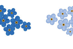 Arrangement of blue forget-me-not flowers isolated Stock Images