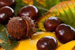 Arrangement of Chestnuts Stock Images