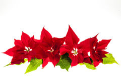 Arrangement with Christmas poinsettias Stock Photo