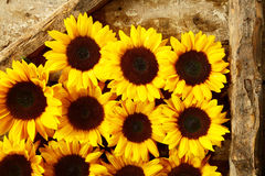 Arrangement of colorful yellow sunflowers Stock Photos