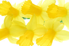 Arrangement of daffodil blooms Royalty Free Stock Images