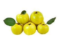 Arrangement of fresh quinces. Group of yellow quinces with c/p royalty free stock image
