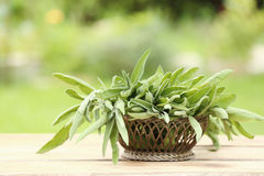 Arrangement of fresh sage in a basket. Arrangement of aromatic fresh sage, a savoury culinary potherb, in a basket on a wooden table in a summer garden Royalty Free Stock Image