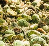 Arrangement of green sea urchin shells Stock Photography