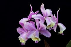 Arrangement of lilac orchids. Wonderful lilac bouquet of orchid flowers. Macro lens. Close up Stock Photo