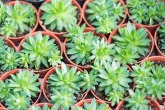 Arrangement miniature green succulent plants Stock Photos