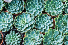Arrangement miniature green succulent plants Stock Photography