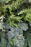 Arrangement of mixed evergreens for Christmas Stock Images