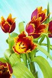 Arrangement of parrot tulips, Royalty Free Stock Photo