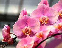Beautiful Pink Butterfly Orchids Stock Photo