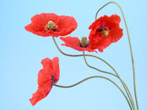 Arrangement of red poppies stock image