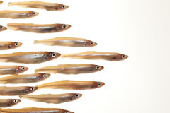Arrangement of small fish (smelts) 7 Royalty Free Stock Images