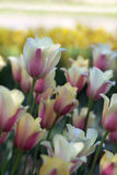 Arrangement of spring tulips Stock Images