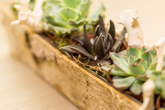 Arrangement of succulent flowers in a wooden pot. Decorated with white tree roots Stock Photo