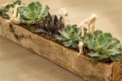 Arrangement of succulent flowers in a wooden pot. Decorated with white tree roots Stock Photography