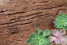 arrangement of succulents or cactus on wooden background as fram Royalty Free Stock Photo