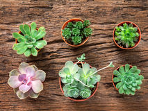 Arrangement of succulents or cactus on wooden background, overhe Stock Photos